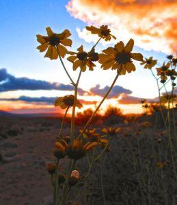 Wildflowers at dawn . . . brilliant! (This is desert brittlebush, Encelia farinosa.)