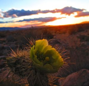 Along with the annual wildflowers, the cholla cactus are lighting up the desert right now.