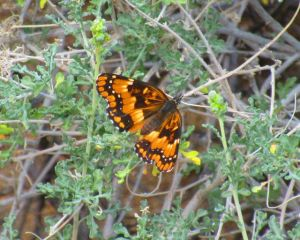 Where there's wildflowers, there's butterflies--difficult to catch with my terrible little point-and-shoot camera, but this California Patch butterfly politely posed long enough for me to get this image.