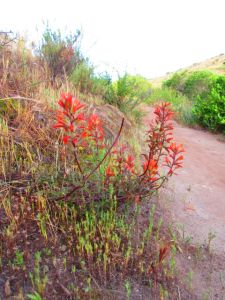 Not so common in these parts: red paintbrush.