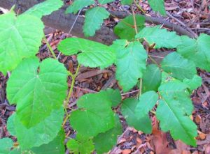 In the luscious under-oak shade along the trail, wild grapes run rampant with the poison oak.  (Grape leaves on left; poison oak