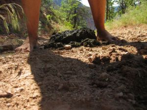 mule poo on the North Kaibab trail