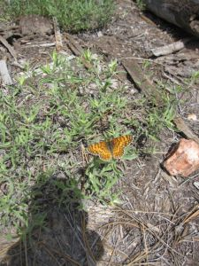 butterfly at North Rim