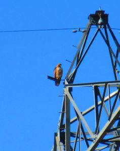 This hawk lit up the morning with his piercing call, which I'd love to transcribe and translate, but my hawk language skills are still limited.