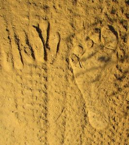 deer print and barefoot pring
