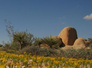 carpet of yellow wildflowers at Joshua Tree National Park