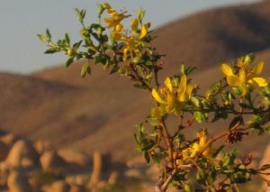 creosote in bloom at Joshua Tree National Park