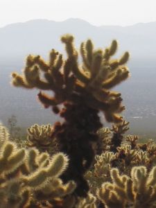 cholla garden at Joshua Tree National Park