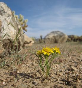 August wildflowers at Joshua Tree National Park