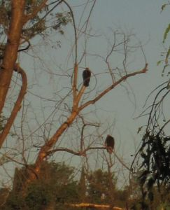 turkey vultures perched in tree