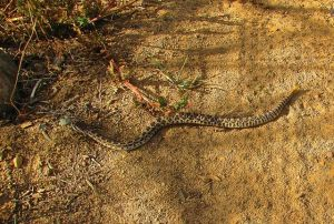 Young rattlesnake
