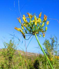 Goldenstar: Bloomeria crocea