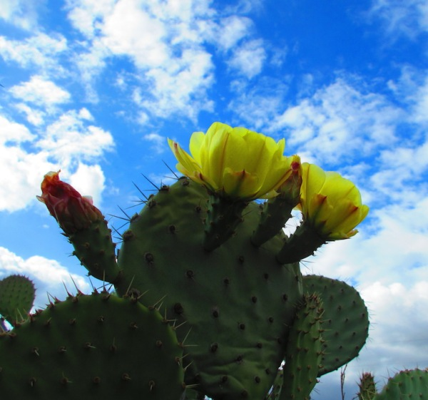 prickly pear in bloom copy