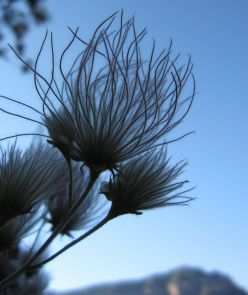 Apache plume