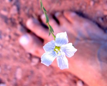 . . . also known as Linum lewisii
