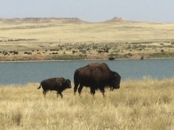 Mom and spring baby bison.