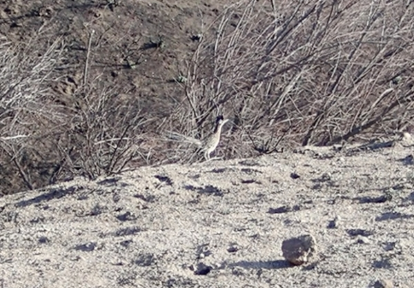 roadrunner in burned area