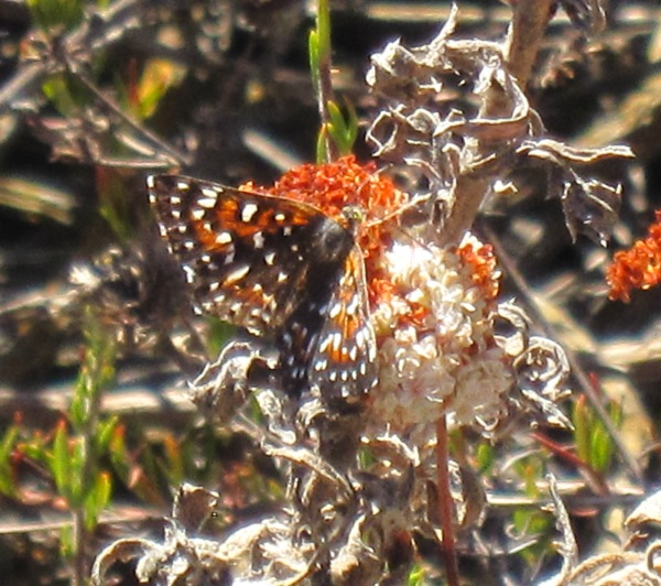 behrs metalmark on buckwheat