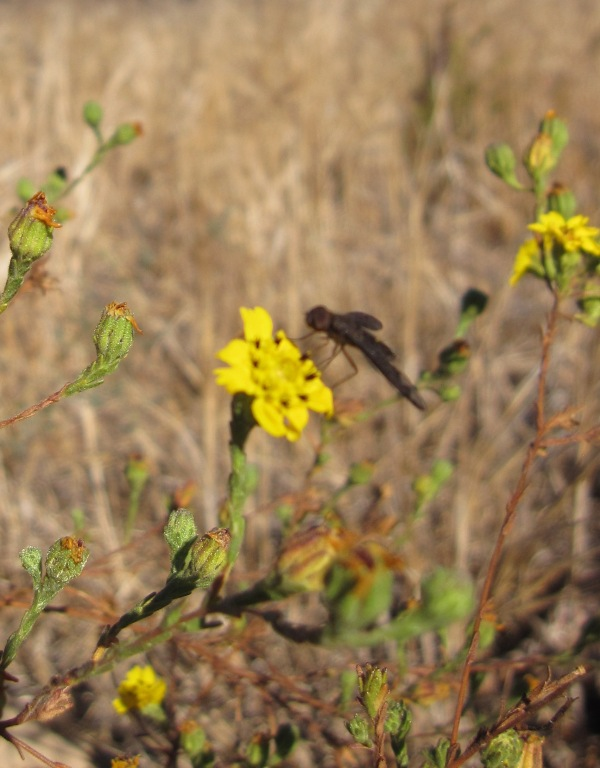 robber fly on tarweed
