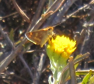 skipper on goldenbush