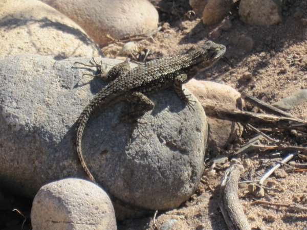western fence lizard on rock