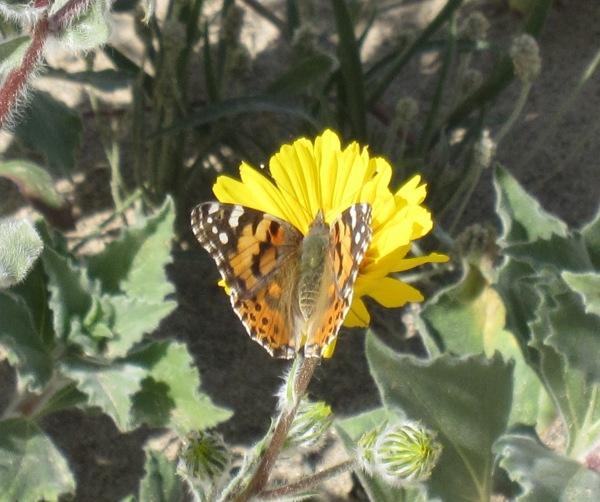 Painted Lady butterfly migration Ocotillo Wells 2 24 19