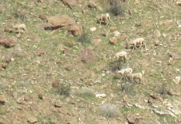 six desert bighorn sheep ABDSP Feb 2019