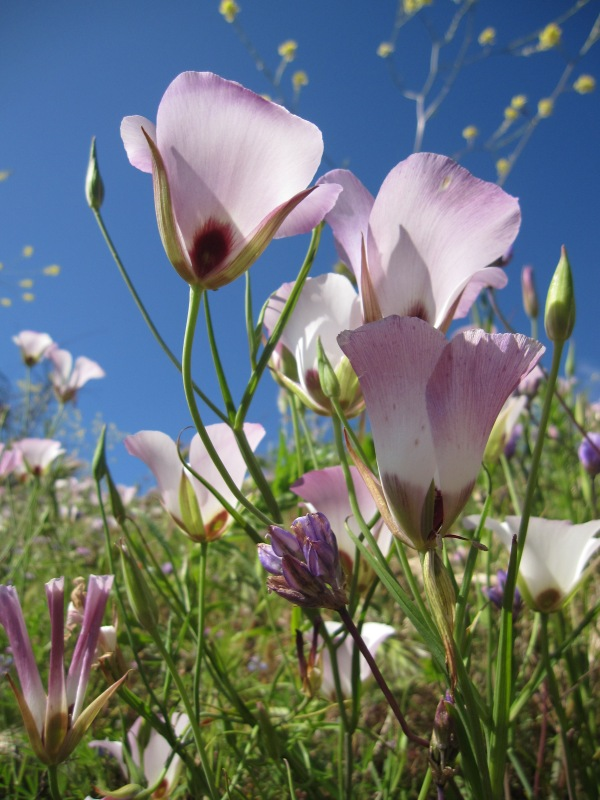 Super bloom catalina mariposa lilies