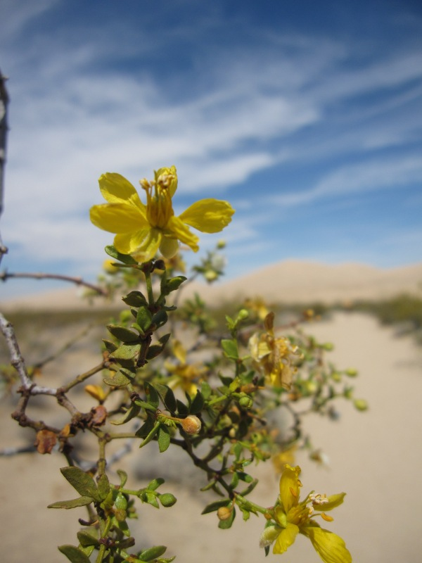 Creosote superbloom
