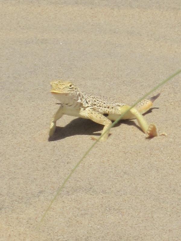 Fringe toed lizard Kelso Dunes