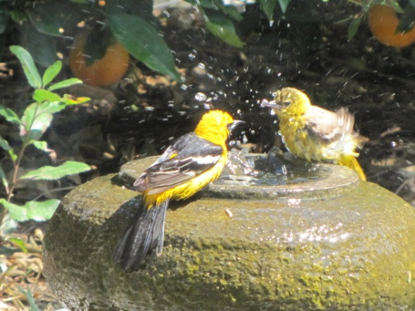 mr and mrs oriole