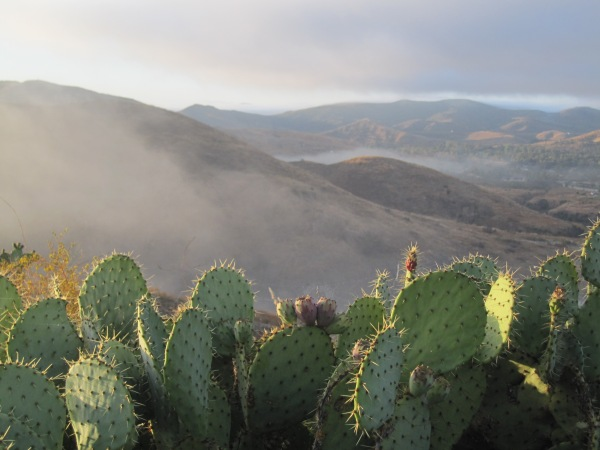 prickly pear and foggy hills