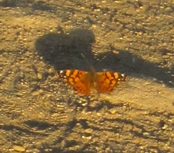 painted lady and shadow