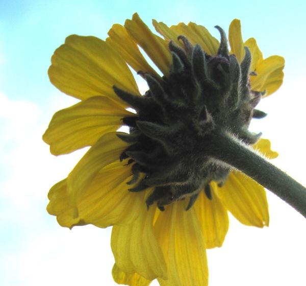 western sunflower from below