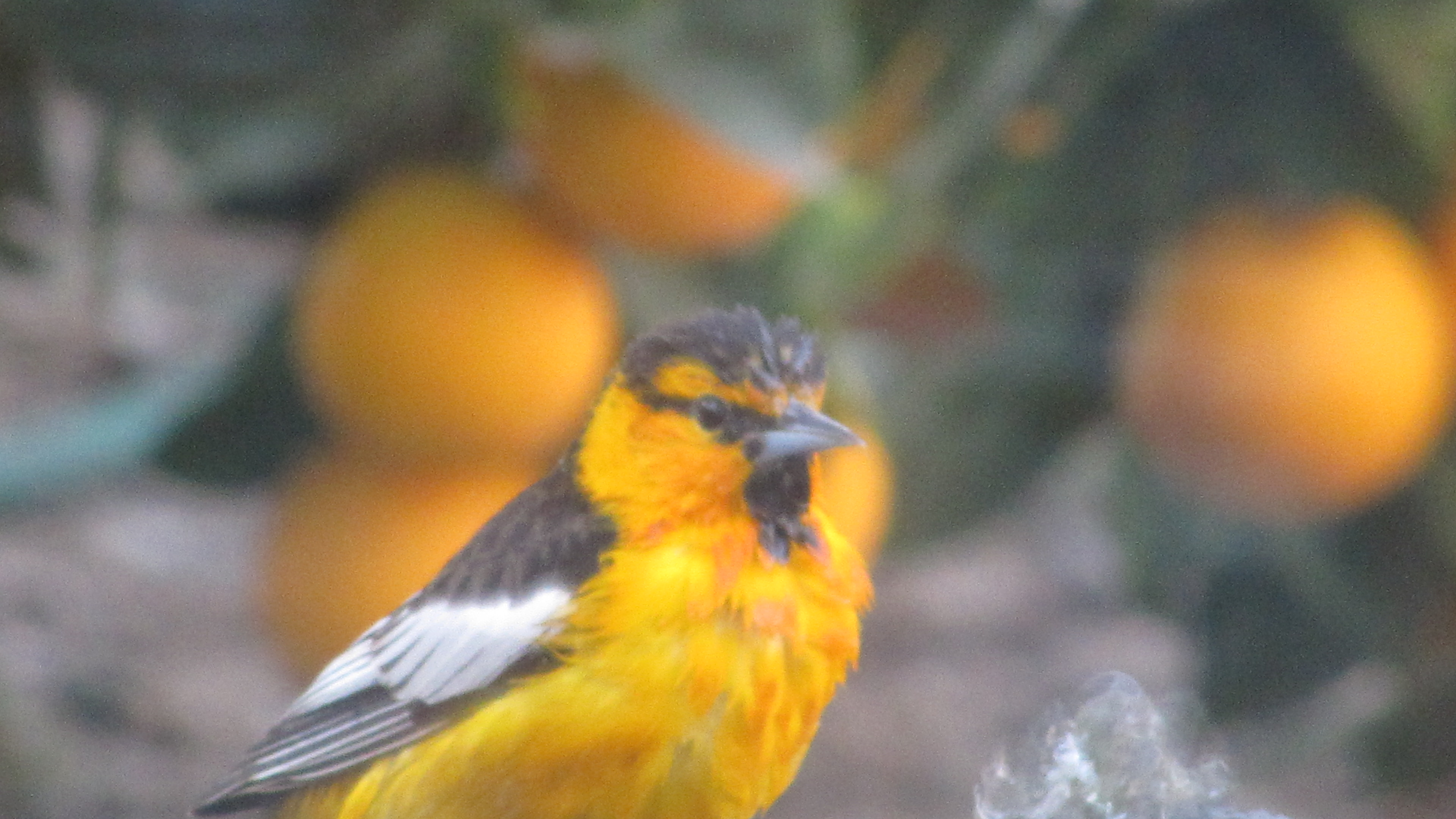 Bullocks oriole 3 28 20 Orange CA