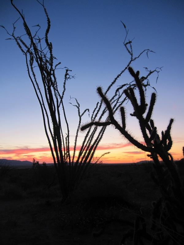 ocotillo and cholla sunrise
