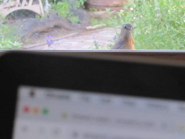 bluebird looking in window