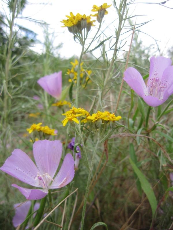 golden yarrow Eriophyllum confertiflorum