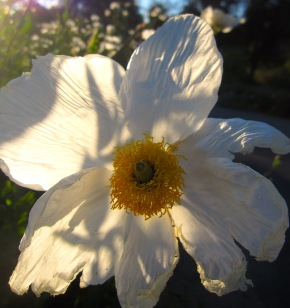 matilija poppy shadow patterns