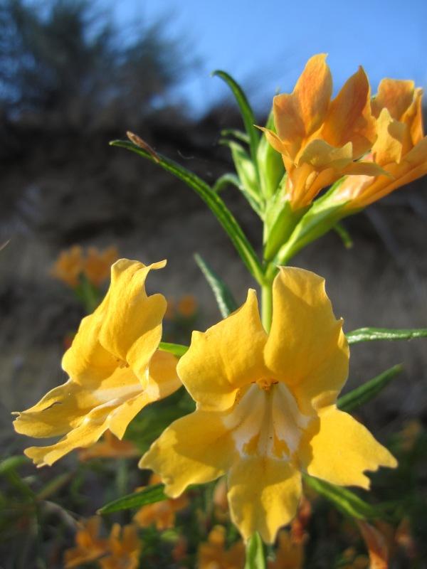 sticky monkey flower Mimulus aurantiacus